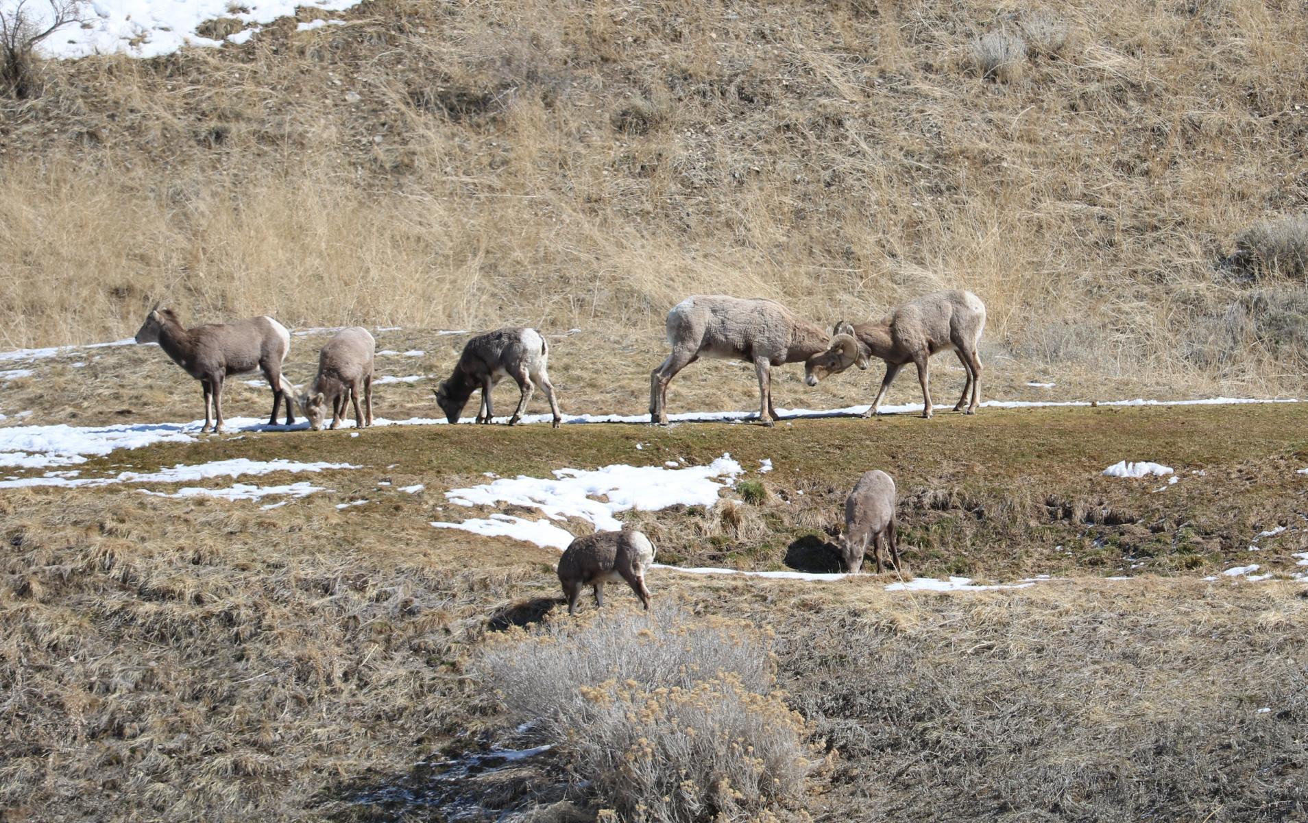 Click image for larger version  Name:Cedar Hills Sheep 1.jpg Views:114 Size:575.8 KB ID:146337