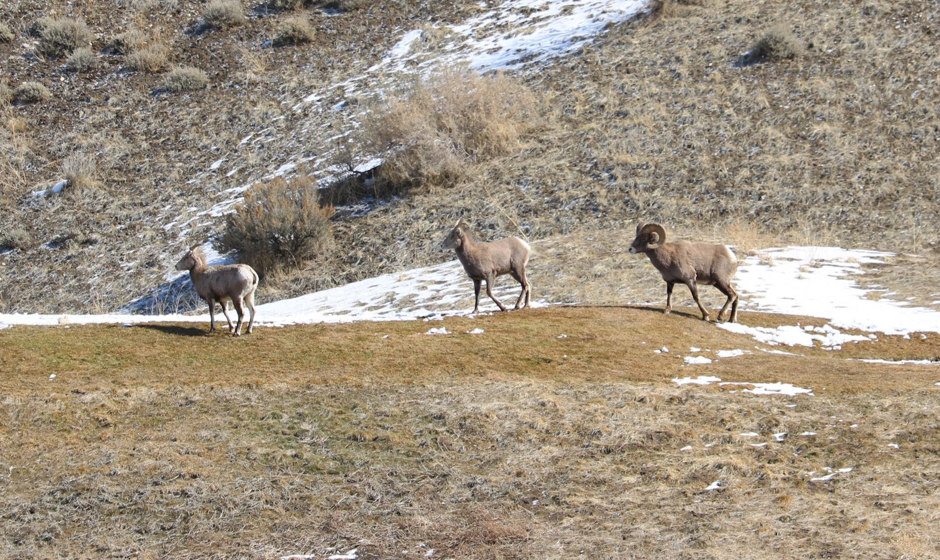 Click image for larger version  Name:Cedar Hills Sheep 2.jpg Views:122 Size:533.0 KB ID:146339