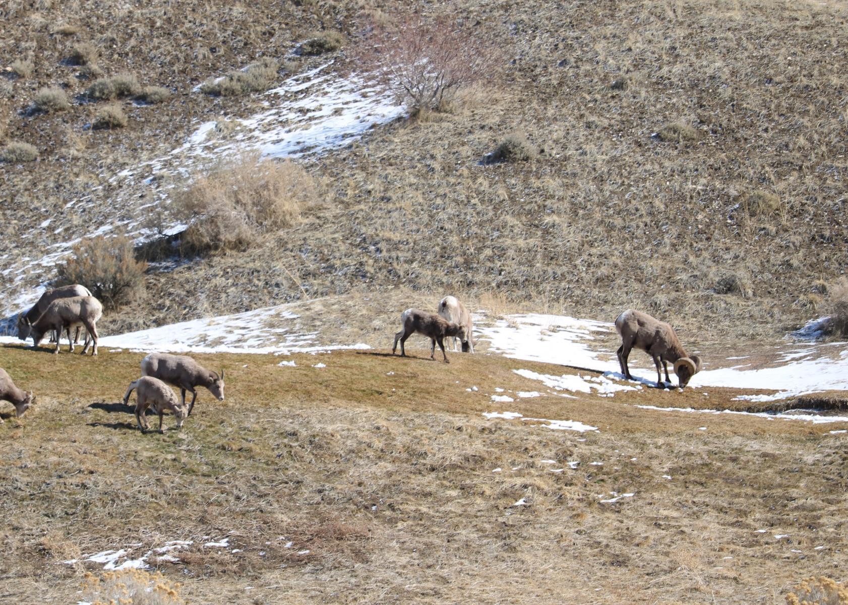 Click image for larger version  Name:Cedar Hills Sheep 3.jpg Views:53 Size:478.3 KB ID:146361