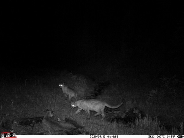 Click image for larger version  Name:cougar.1.jpg Views:339 Size:38.5 KB ID:142989