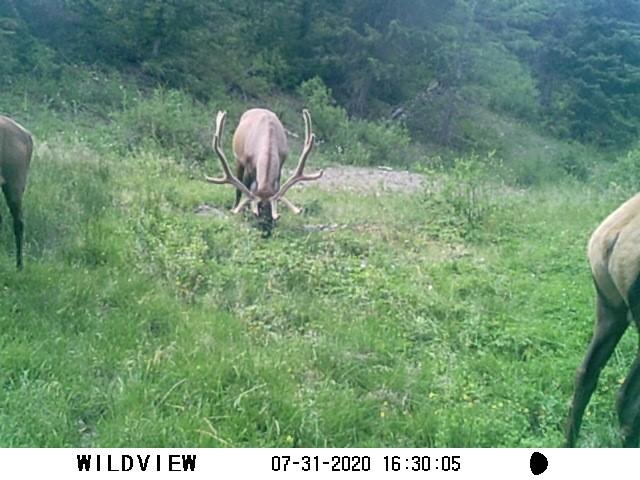 Click image for larger version  Name:elk.2.jpg Views:321 Size:95.4 KB ID:142993