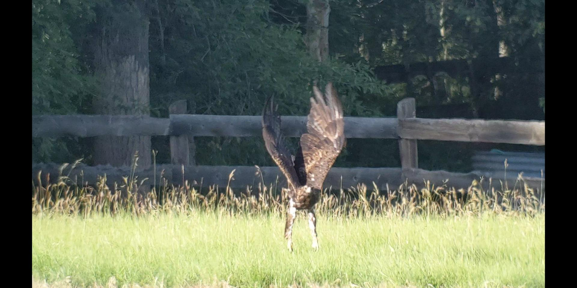 Click image for larger version  Name:Golden Eagle1.jpg Views:52 Size:204.7 KB ID:142777