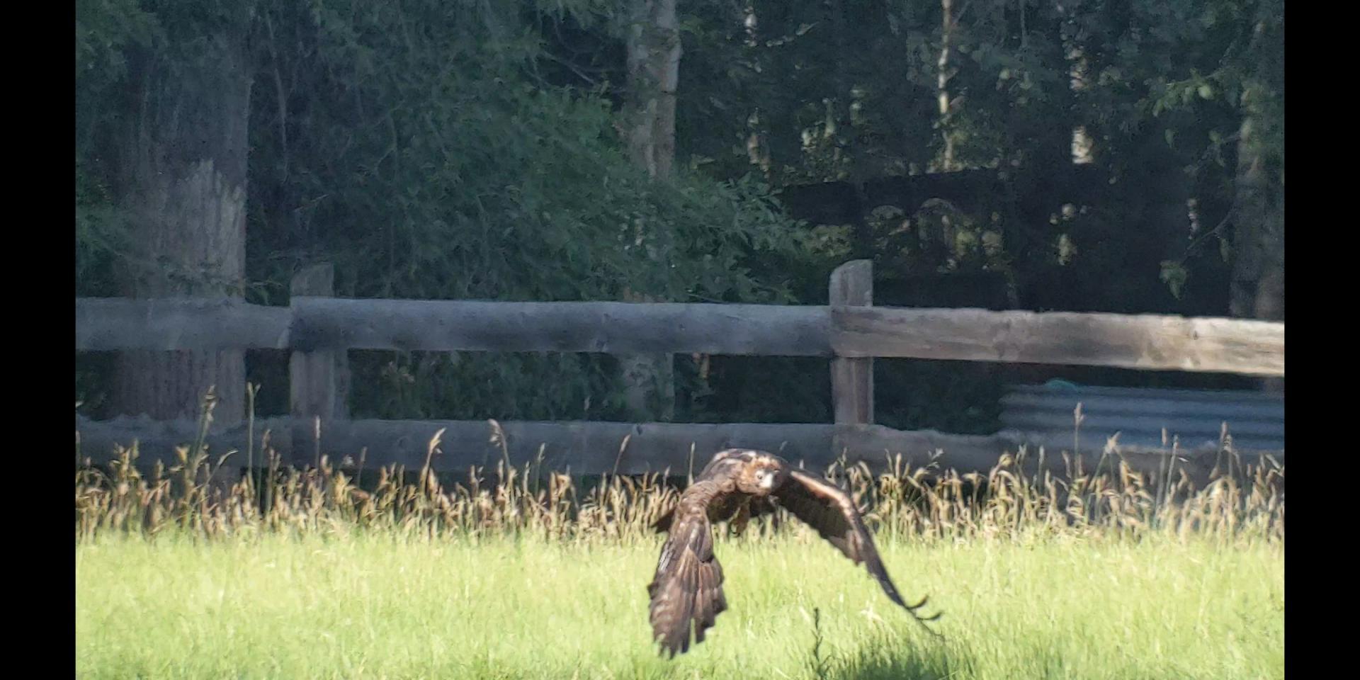 Click image for larger version  Name:Golden Eagle3 (1).jpg Views:56 Size:185.6 KB ID:142781